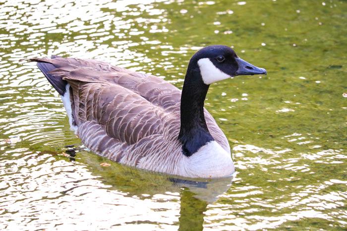Swimming Canada Goose