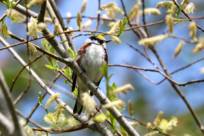 A Chestnut Sided Warbler
