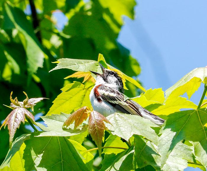 Singing Chestnut Sided Warbler