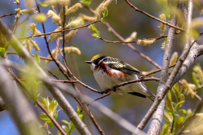 A Summer Warbler