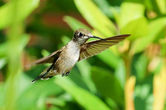 Flying Waving Hummingbird