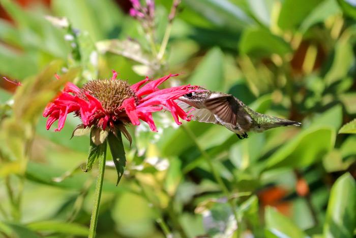 Hummer Feeding From Flower