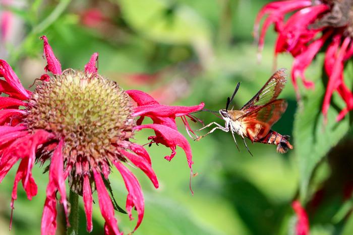 Hummingbird Moth Visiting Bee Balm