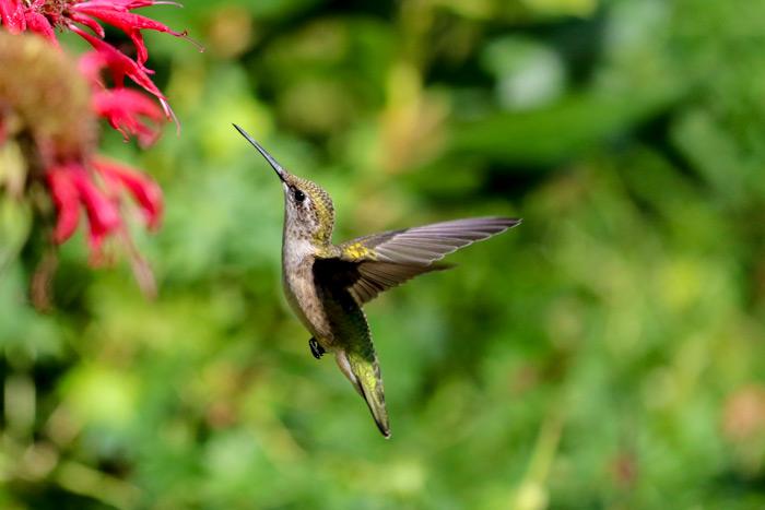 Ruby Throat In Flight