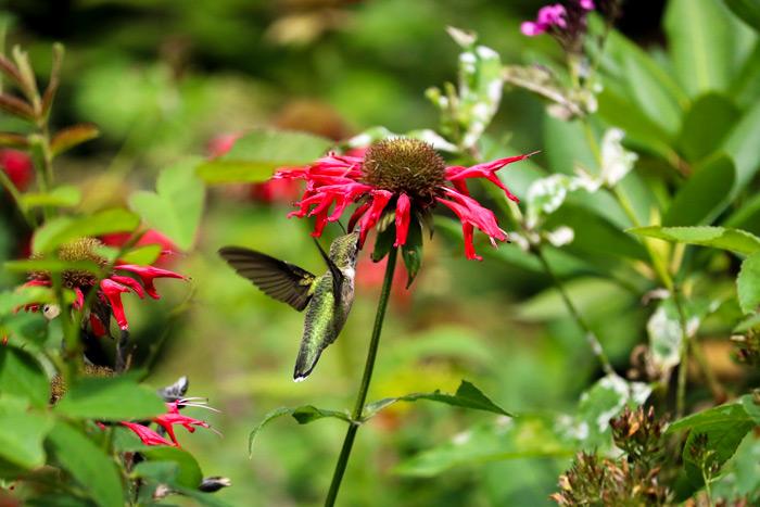 A Ruby Throated Hummingbird Visiting A Flower Garden