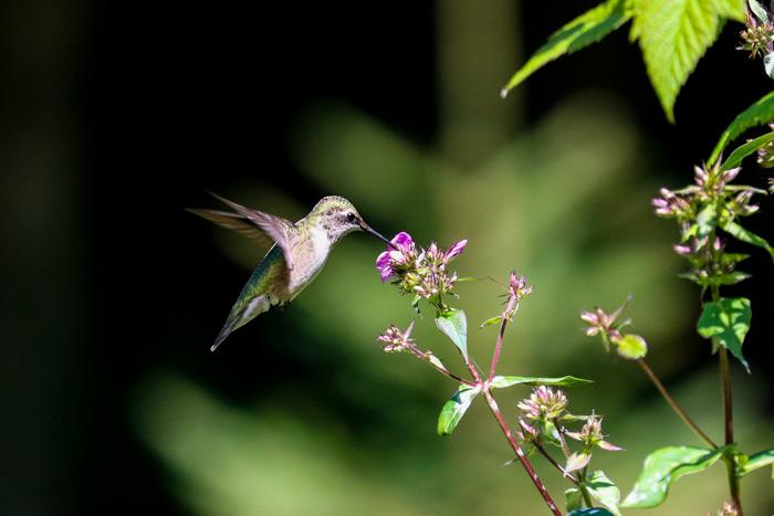 Ruby Throated Hummingbird Visiting A Phlox Flower
