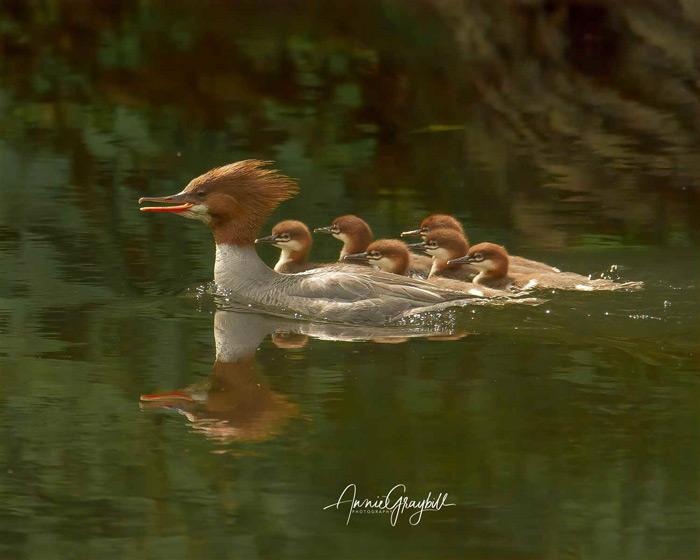 Merganser Mother And Chicks