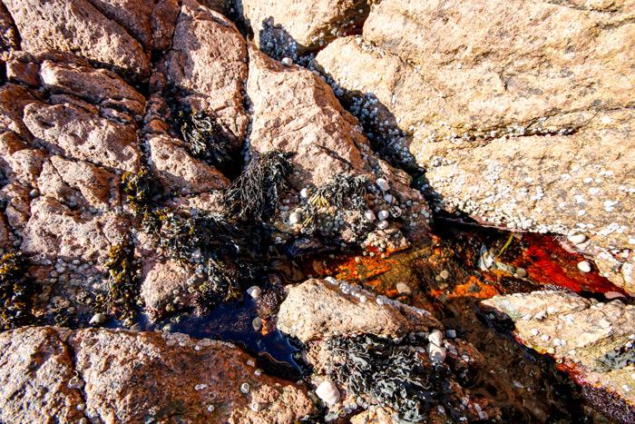 Maine Seaweed