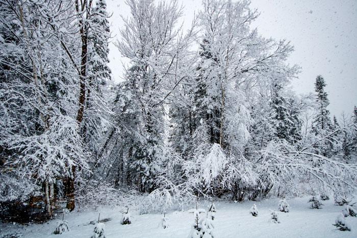 Bent Over Birch Trees