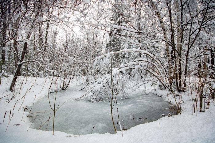 Birch Covered Pond
