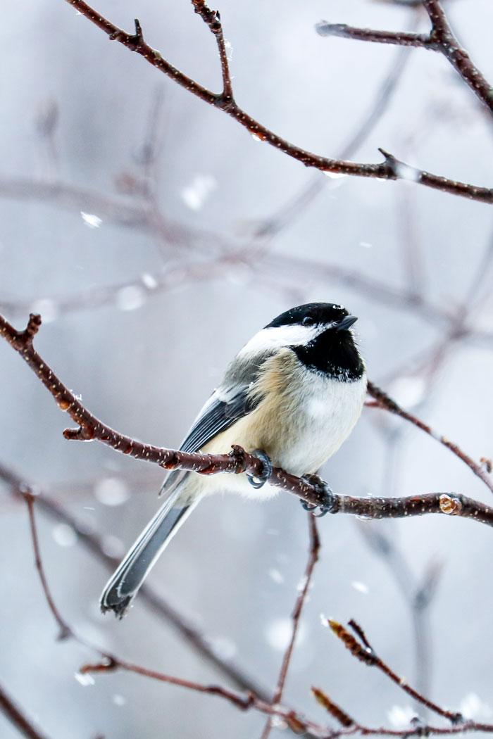 Chickadee In The Snow