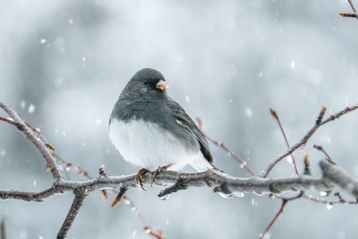 Dark Eyed Junco In Snow