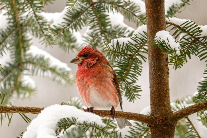 Male Purple Finch In The Snow