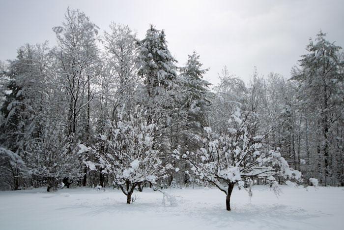 Snowy Apple Trees