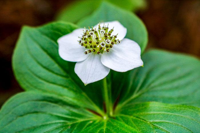 Bunchberry Closeup