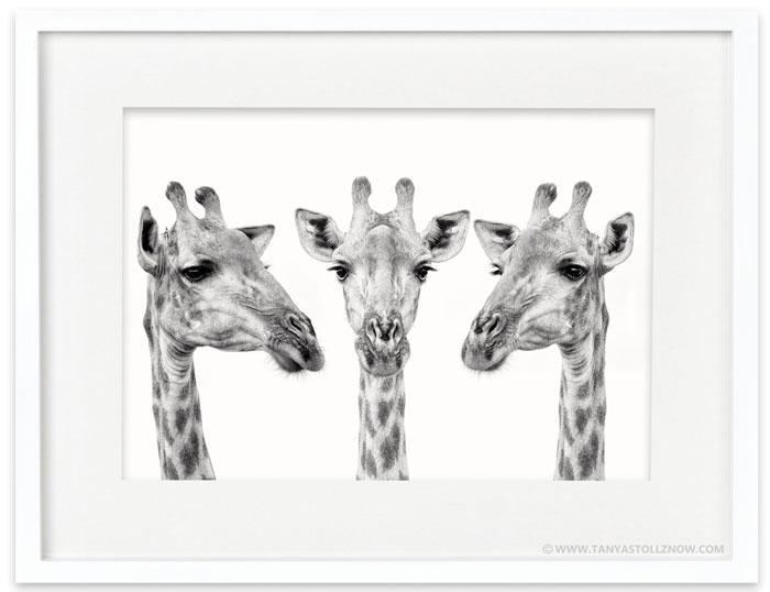 A Giraffe Trio In Black And White