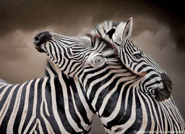 Zebras Intertwined