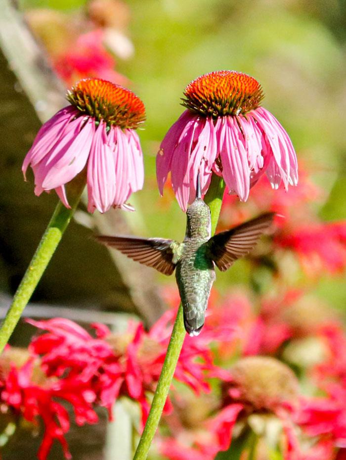 Ruby Throated Hummingbird Feeding From A Coneflower