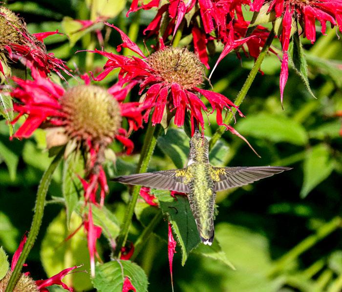 Back Of Hummingbird