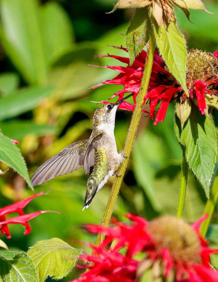 Perching Hummingbird