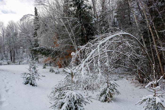 Bent White Birches