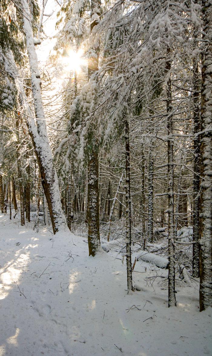 Row Of Snowy Trees