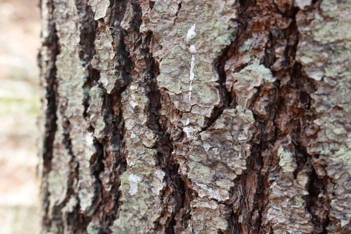 A Close Up Of Sap On Bark