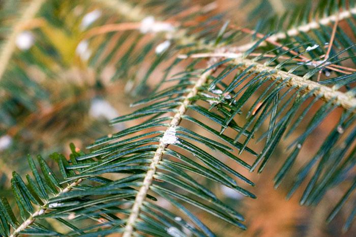 Sap Collecting On Pine Needles