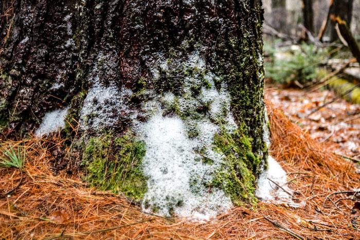 White Foam On A Pine Tree