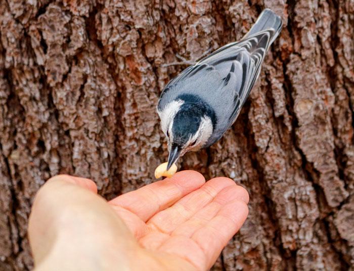 Feeding A Nuthatch A Peanut