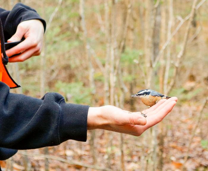 Male Feeding A Nuthatch