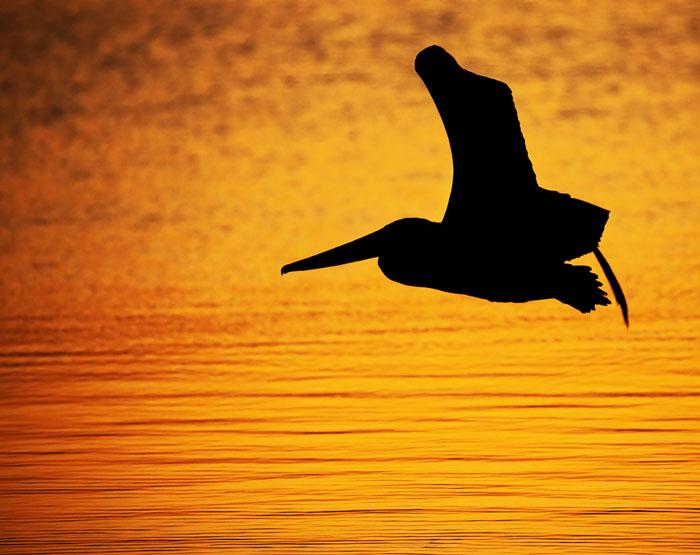 Silhouette Of A Pelican In Flight