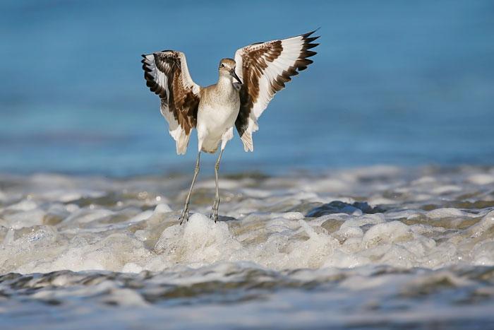 Willet Landing In The Water