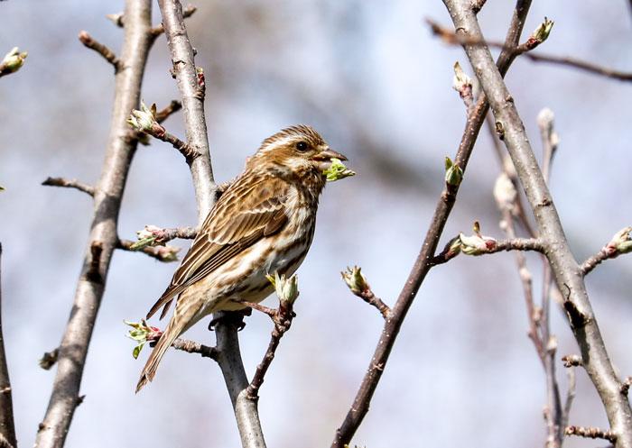 Finch Eating An Apple Bud