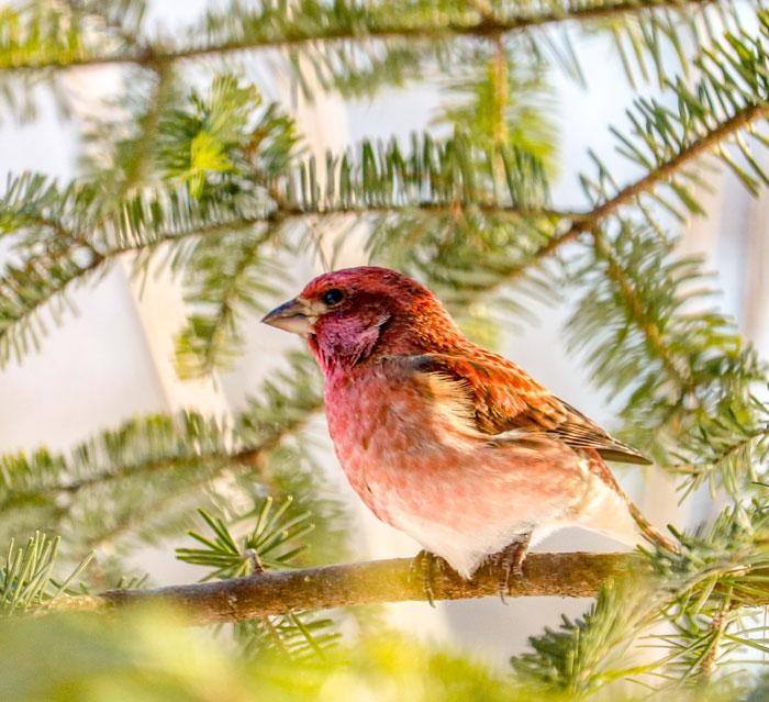 Male Purple Finch In The Sun