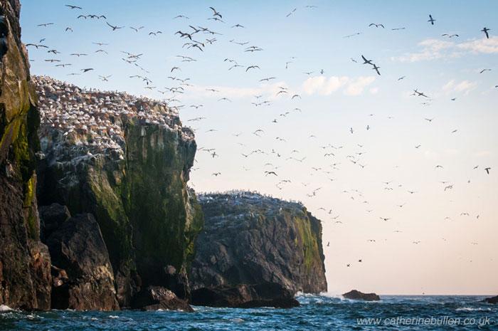 Gannets On The Coast