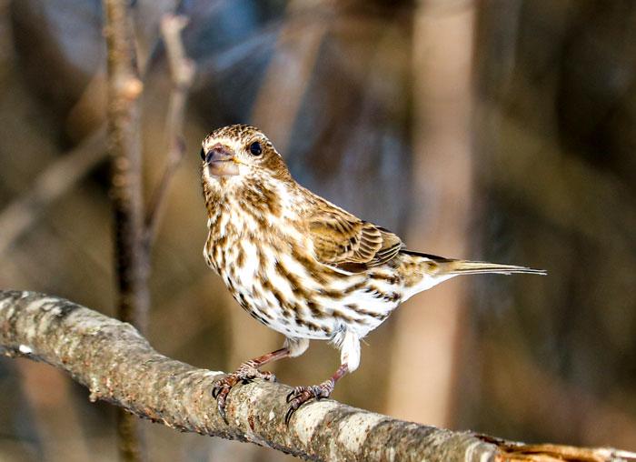 Perching Female Purple Finch