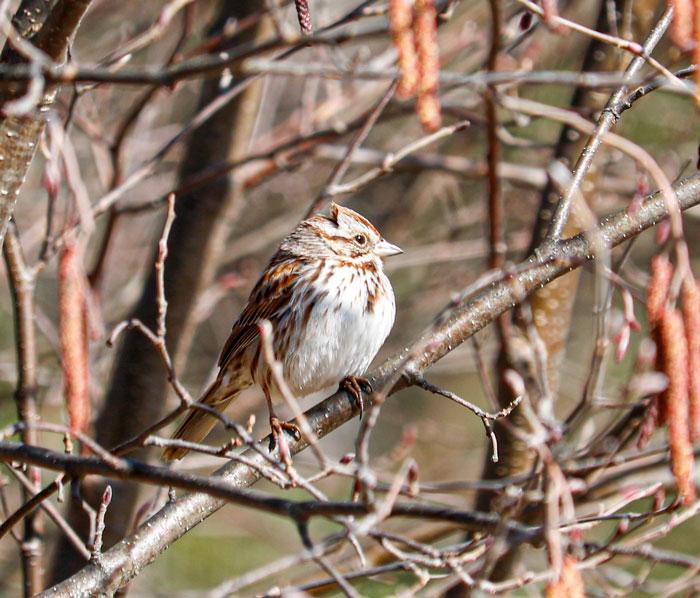 A Perching Song Sparrow