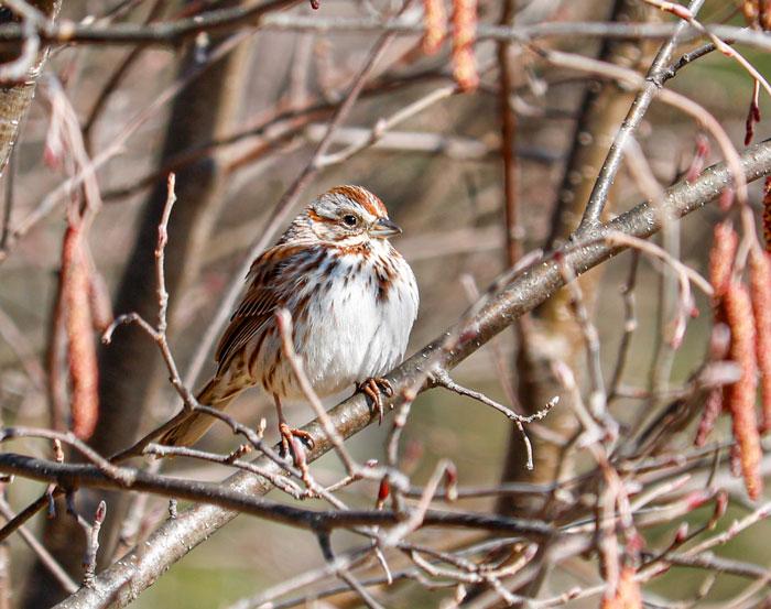 A Spring Song Sparrow