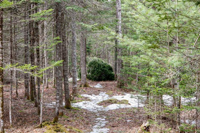 Eastern Pine Fallen In Trail