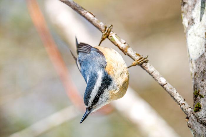 Female Nuthatch 4-28