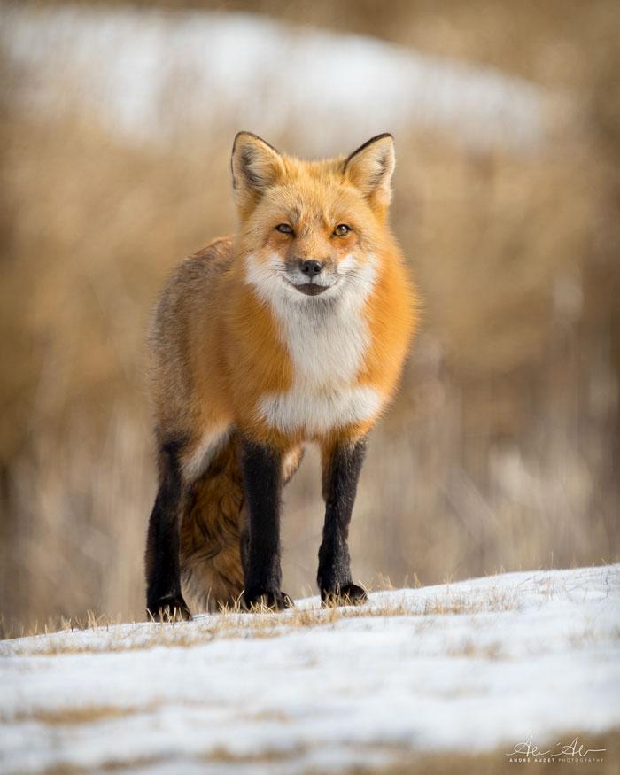 Fox Looking Forward 4-29