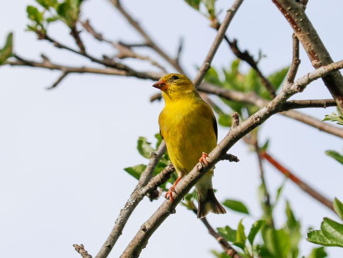 American Goldfinch 5-25