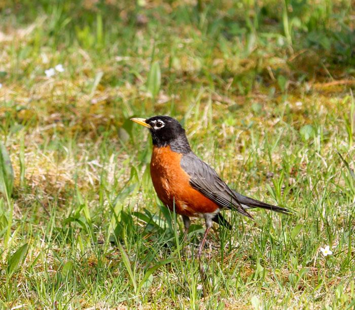 American Robin In The Grass 5-25