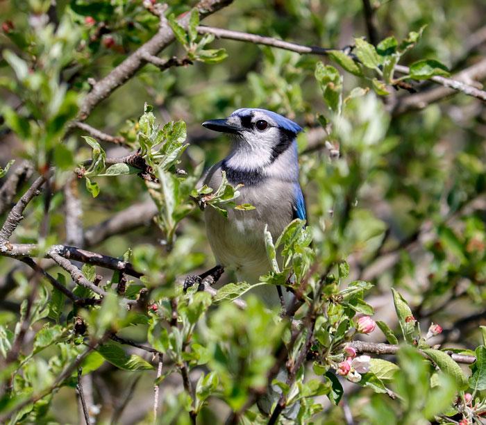 Blue Jay 5-25