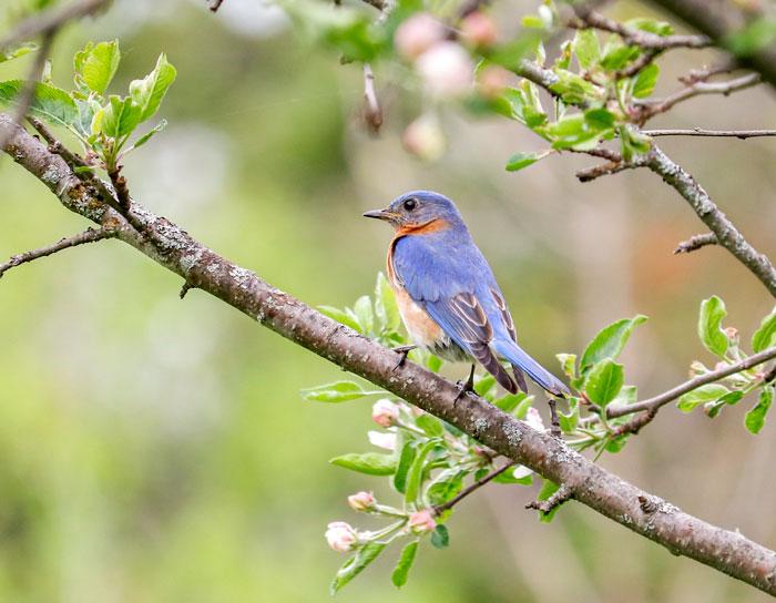 Bluebird Perching In An Apple Tree 5-25
