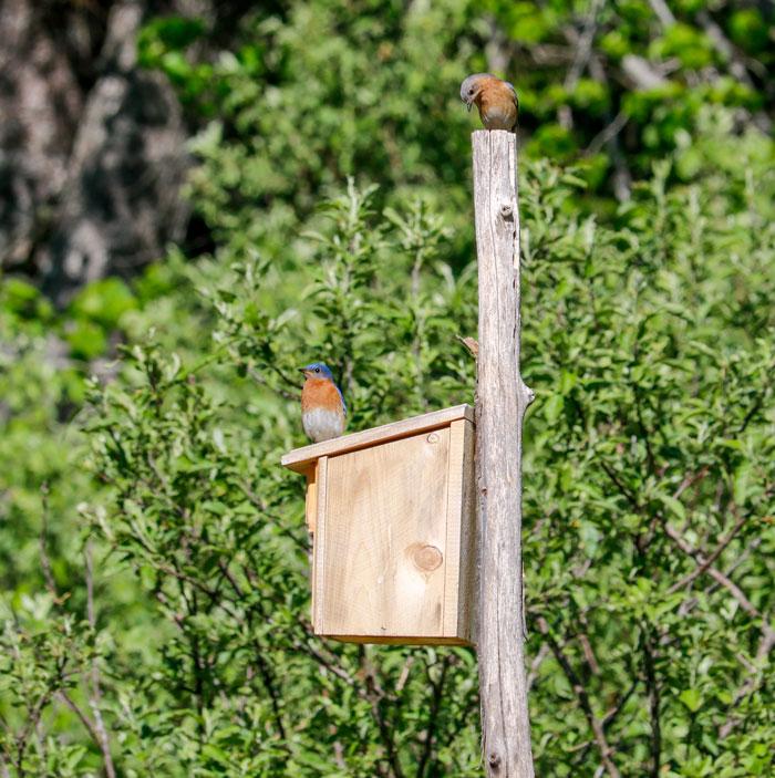 A Pair Of Nesting Eastern Bluebirds 5-25