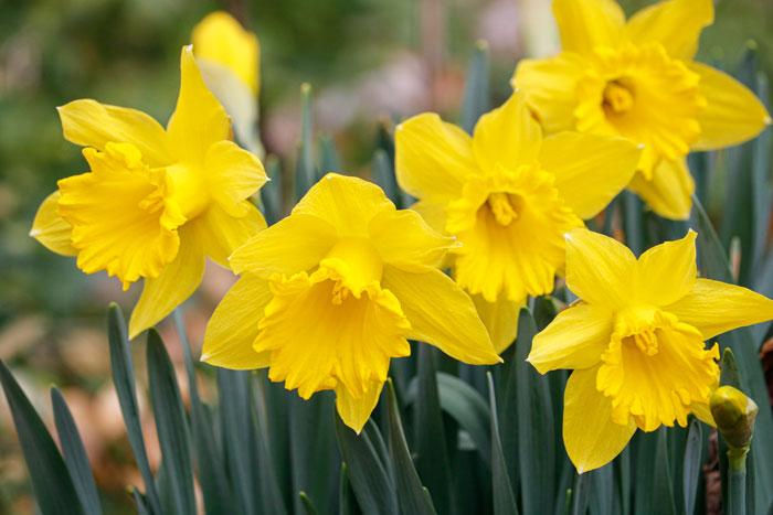 Daffodils 5-25