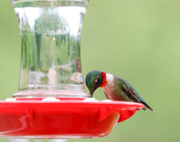 Feeding Hummingbird  5-25