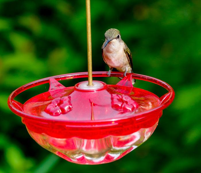 Female Hummingbird 5-25